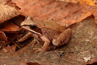 Eastern Wood Frog Art Print by Ted Kinsman