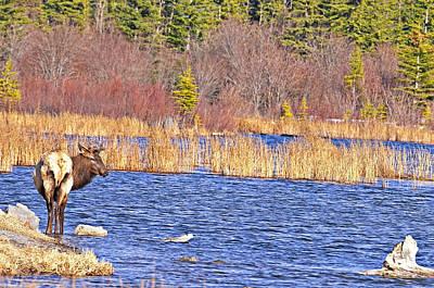 Photograph - Elk On The Vermilion by Edward Kovalsky