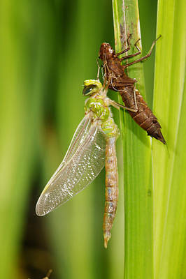 Naiad Photograph - Emperor Dragonfly Metamorphosis by Andy Harmer