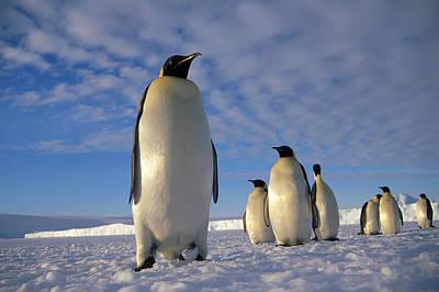Emperor Penguin Aptenodytes Forsteri Print by Tui De Roy