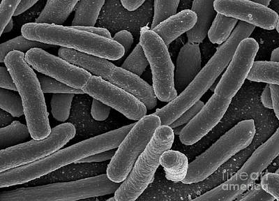 Microscopic Organism Photograph - Escherichia Coli Bacteria, Sem by Science Source