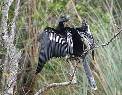 Exotic Anhinga Original by Valia Bradshaw