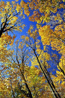Fall Maple Trees Art Print by Elena Elisseeva