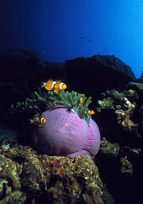 Clown Fish Photograph - False Clown Anemone Fish by Georgette Douwma