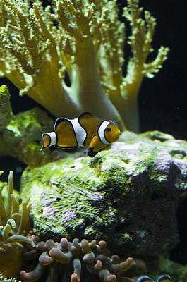 Amphiprion Ocellaris Photograph - False Clownfish Amphiprion Ocellaris by Todd Gipstein
