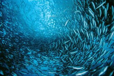 Farmed Sea Bass Print by Alexis Rosenfeld