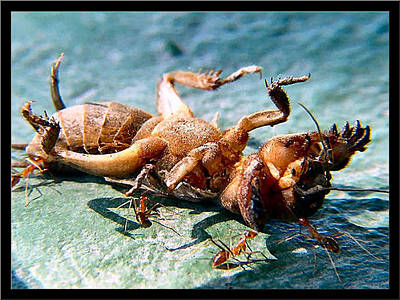 Photograph - Feasting Red Ants 2002 by Glenn Bautista
