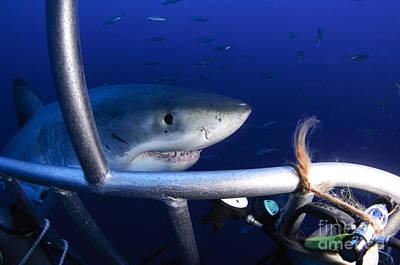 Female Great White Shark, Guadalupe Art Print by Todd Winner