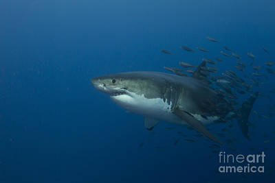 Female Great White Shark With A School Art Print