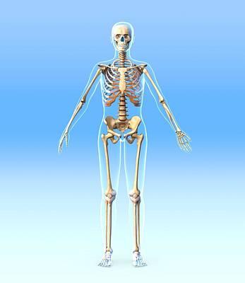 Biomechanics Photograph - Female Skeleton, Artwork by Roger Harris