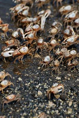 Photograph - Fiddler Crabs by David Campione