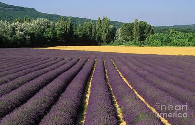 Field Of Lavender. Provence Art Print by Bernard Jaubert