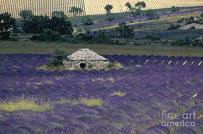 Field Of Lavender. Sault Art Print by Bernard Jaubert