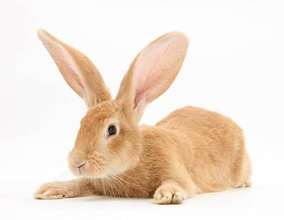 Photograph - Flemish Giant Rabbit by Mark Taylor