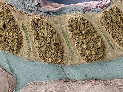 Foetal Spinal Column Art Print by Steve Gschmeissner
