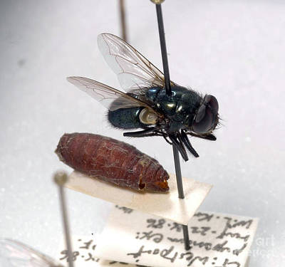Intervals Photograph - Forensic Helpers, Black Blow Fly by Science Source