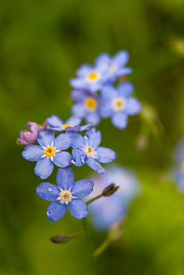 Photograph - Forget Me Not by Robert Clifford