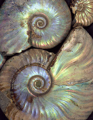 Silver Turquoise Photograph - Fossilised Ammonites by Dirk Wiersma