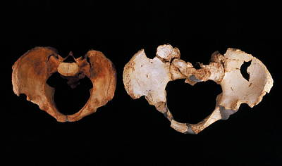 Evolution Of Humanity Photograph - Fossilised Pelvis, Sima De Los Huesos by Javier Truebamsf