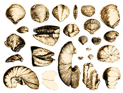Fossilized Shells, 1844 Art Print