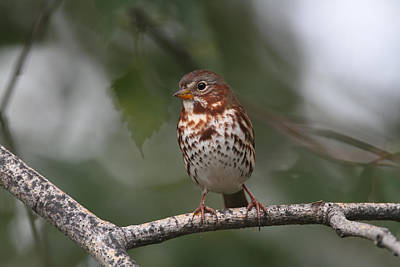 Photograph - Fox Sparrow by Doug Lloyd