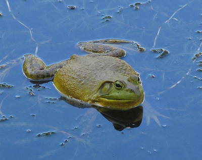 Whimsically Poetic Photographs Rights Managed Images - Frog In Pond Royalty-Free Image by Jeannie Kohut