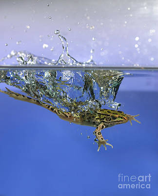 Frog Jumps Into Water Art Print by Ted Kinsman