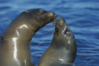 Photograph - Galapagos Sea Lion Zalophus Wollebaeki by Tui De Roy