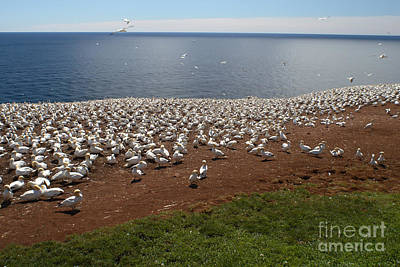Quebec Fauna Photograph - Gannet Colony by Ted Kinsman