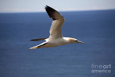 Quebec Fauna Photograph - Gannet In Flight by Ted Kinsman