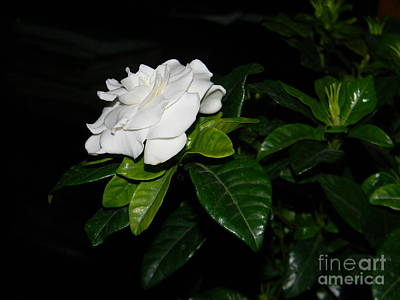 Gardenia Photograph - Gardenia by Anita V Bauer
