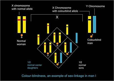 Genetics Of Colour Blindness, Diagram Art Print