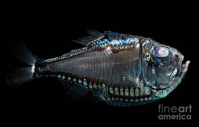 Of Ocean Creatures Photograph - Giant Hatchetfish by Dant� Fenolio