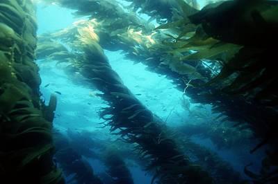 Giant Kelp Art Print by Georgette Douwma