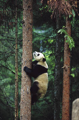 Giant Panda Ailuropoda Melanoleuca Art Print by Cyril Ruoso