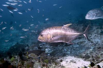Caesionidae Photograph - Giant Trevally by Georgette Douwma