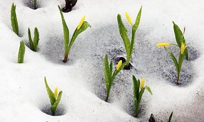 Fawn Lily Photograph - Glacier Lilies (erythronium Grandiflorum) by Bob Gibbons