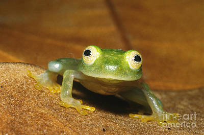 Frogs Photograph - Glass Frog by Dante Fenolio