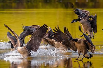 Golden Geese Art Print by Brian Stevens