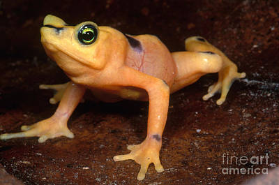 Panama Frog Photograph - Golden Harlequin Frog by Dante Fenolio