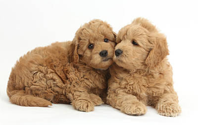 Golden Doodle Photograph - Goldendoodle Puppies by Mark Taylor