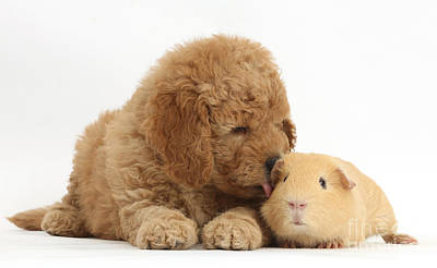 Golden Doodle Photograph - Goldendoodle Puppy And Guinea Pig by Mark Taylor