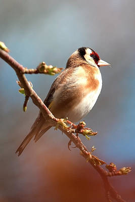Photograph - Goldfinch by Shirley Mitchell