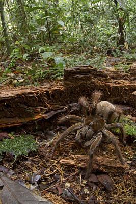 Mar2613 Photograph - Goliath Birdeating Spider Surinam by Piotr Naskrecki