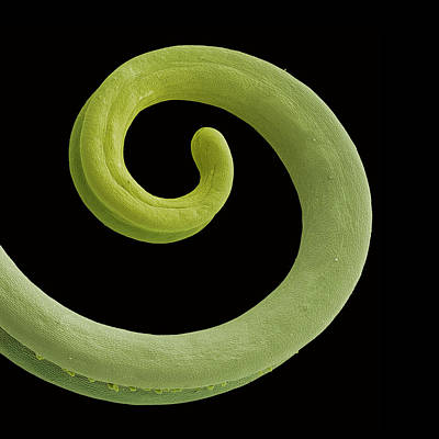 Tendrils Photograph - Grape Tendril, Sem by Steve Gschmeissner