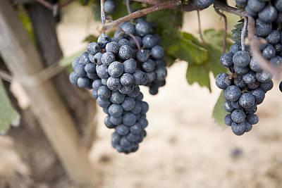 Blue Grapes Photograph - Grapes In Vineyard, Niagara Region, Ontario, Canada by Ikonica