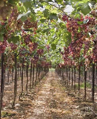 Grapes On Vine In Vineyard Art Print