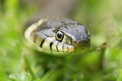 Grass Snake Art Print by Adrian Bicker