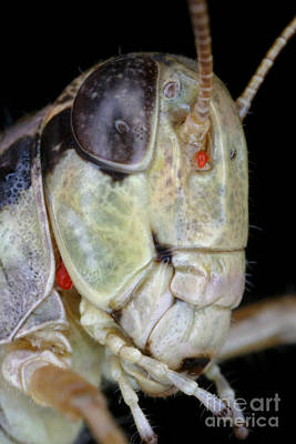 Grasshopper With Parasitic Mite Print by Ted Kinsman