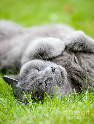 Photograph - Gray Cat  by Kati Finell